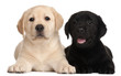 Two Labrador puppies, 7 weeks old,