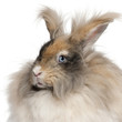 Close-up of English Angora rabbit