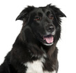 Close-up of Border Collie, 5 years old,