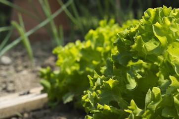 salade,verte,laitue,batavia,potager,jardinage