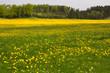 Frühlingswiese mit blühendem Löwenzahn