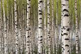 Fototapety Birch trees