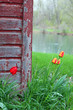 Rustic Barn with Tulips