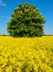 tree in field of yellow