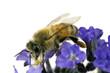 Bee, Apis mellifera, European or Western honey bee feeding on he