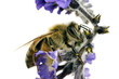 Bee, Apis mellifera, European or Western honey bee feeding on he