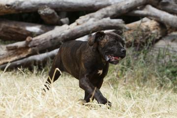 italian corso dog running