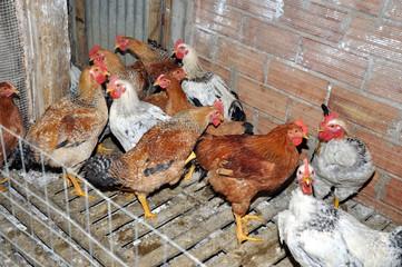 Galline nel pollaio