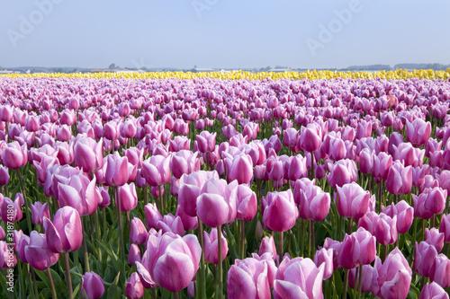 Dutch tulipfields in springtime
