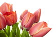 Fresh Beautiful Tulips / isolated on white / horizontal with cop