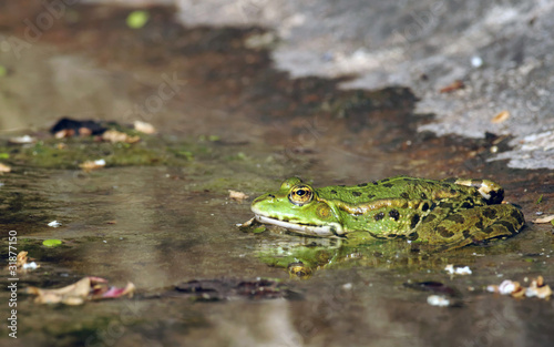 Grenouille verte - Green Frog - Rana esculenta