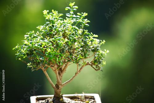 Canvas Bonsai bonsai
