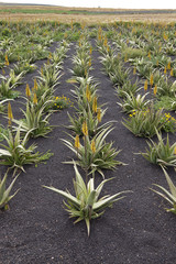 Aloe Vera Anbau auf Lanzarote
