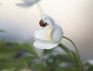 Ladybird sitting on wood anemone, macro photo