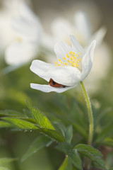 Ladybird hiding in Wood anemone (Anemone nemorosa)