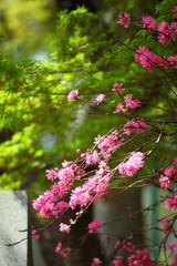 菊桃 (東京・五条天神)