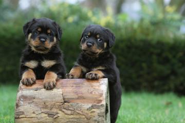 deux chiots rottweiler rigolo