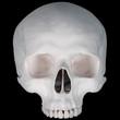 Human skull- upper half