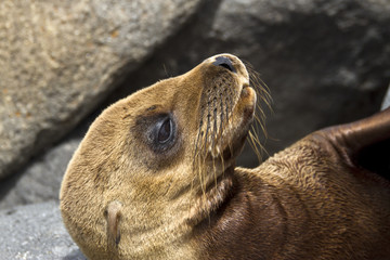 junger Galápagos-Seelöwe
