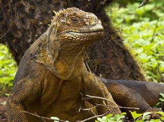 Drusenkopf (Galapagos-Landleguan) #2