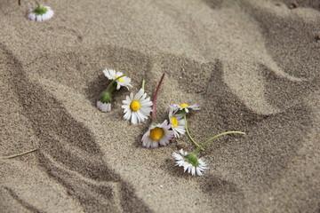 Fiore di Margherita tra la sabbia