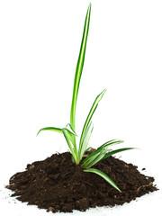 jeune plante dépolluante, phalangère, chlorophytum