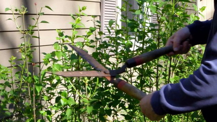 close up man trimming  bush shrub  springtime shears
