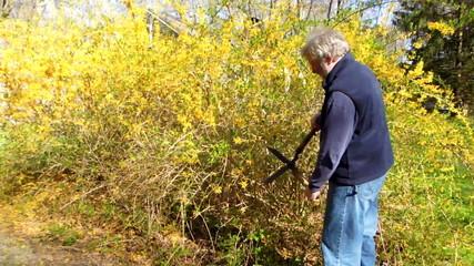 senior man trimming forsythia bush  yellow flowers springtime