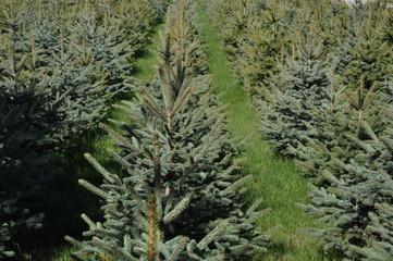 Pine Tre Farm