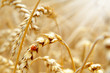Getreide 126 - 31939758