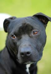 Black Pitbull Dog Purebred