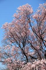 正福寺桜 (東京国立博物館)