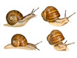 grape helix - common snail - 31947953