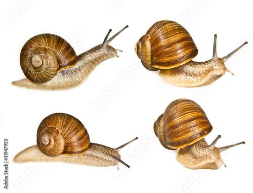 Leinwanddruck Bild grape helix - common snail