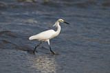Egret wading by an ocean shore poster