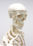 Human skeleton, medical visual aid poster