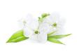 Beautiful Cherry Blossom over White