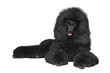Black poodle lying on a white background