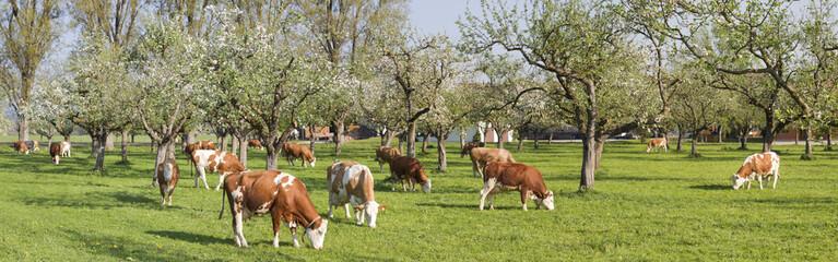 kühe in oberbayern weiden unter blühenden bäumen