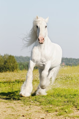 white Shire horse runs gallop on the meadow in summer