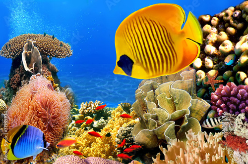 Poster Photo of a coral colony, Red Sea, Egypt
