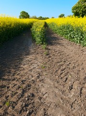 tracks in oilseed crop