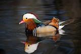 Mandarin Duck Drake on water (2) poster