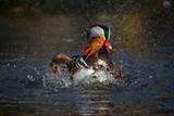 Mandarin Duck Drake on water (1) poster