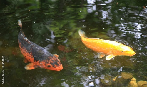 carpes koï dans un bassin de jardin - 31974762