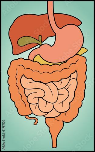 Пищеварительная система - векторизованное изображение клипарта.