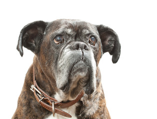 Boxer of a white background.