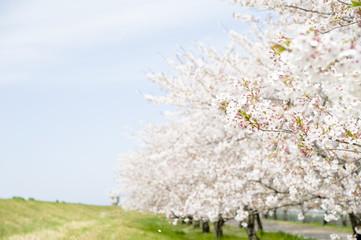 満開の桜の並木と青空
