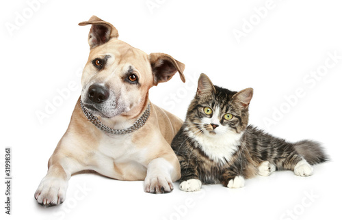 Staffordshire terrier puppy and cat