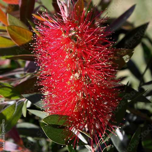 fototapete blume lampenputzer callistemon citrinus zylinderputzer. Black Bedroom Furniture Sets. Home Design Ideas